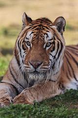 Bakkar the Bengal Tiger (Xenedis) Tags: animal cat zoo tiger australia bigcat canberra act bengaltiger australiancapitalterritory pantheratigristigris nationalzooaquarium bakkar northcurtin