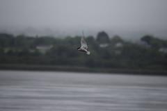 Common Tern (dgspen) Tags: ireland nature birds wildlife northernireland ulster rspb commontern portmorelough