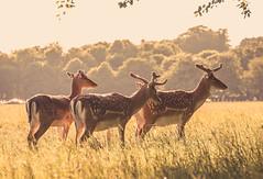 Stags in the evening sun (liz stowe) Tags: park ireland sunset dublin nature phoenix golden evening stag wildlife deer bucks