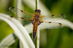 Four-spotted Chaser (m) II (ABPhotosUK) Tags: macro animals canon garden pond dragonflies wildlife devon nocrop dartmoor invertebrates odonata anisoptera fourspottedchaser libellulaquadrimaculata ef25mmextensiontube eos7dmarkii ef100400mmisii