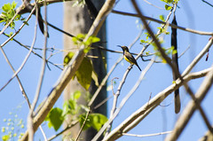 olive-backed sunbird (arcibald) Tags: bird birds philippines aves rizal sunbird olivebackedsunbird nectariniajugularis pililla