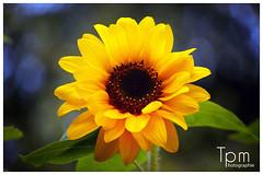 Die Sonnenblume (Helianthus annuus), sunflower, girasol, tournesol, zonnebloem, hng dng (t1p2m3) Tags: flowers fleur de die sunflower tournesol girasol sonnenblume zonnebloem teja maravilla helianthus mirasol maz annuus dng hng acahual jquima calom tlapololote