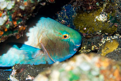 Parrot Fish (RobertLyndonDavis) Tags: travel bali holiday fish indonesia marine underwater sony scuba diving reef mikeo tulamben archon a7s meikon