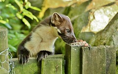 thank you for................... (Suzie Noble) Tags: garden mammal gate peanuts pinemarten mustelid gardengate mauld strathglass struy pinemartenkit pinemartenkits