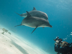 Laura and the Dolphins (altsaint) Tags: underwater dolphin redsea egypt panasonic hurghada bottlenose gf1