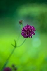 The truth lies in the details (Ans van de Sluis) Tags: summer flower nature floral garden botanical flora colours bokeh bloom botanic colourful helios helios442 bokehlicious ansvandesluis