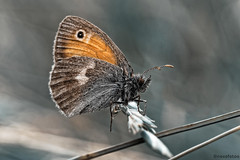 Ochsenauge (novofotoo) Tags: tiere natur insekten schmetterling maniolajurtina edelfalter augenfalter grosesochsenauge