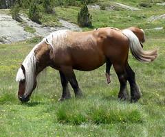 Le chef de bande (Franois Magne) Tags: cheval libert poulain jument blond blonde bai frange montagne etang lanoux estany de lanos lac talon pyrnes