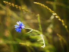 2016-06-09_20-03-56 (torstenbehrens) Tags: flower nature bokeh olympus m45mm f18 panasonic dmcg1 on1 on1pic flora natur