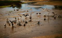 Gulls keeping cool in 31 Celsius (Paul Anthony Moore) Tags: smithtown smithtownhistoricalsociety longisland newyork stonybrook gull seagull