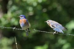 Flirt! Western Bluebirds (Sialia mexicana) DDZ_5027 (NDomer73) Tags: bird june bluebird thrush champoeg 2016 westernbluebird champoegstatepark champoegstateheritagearea 26june2016