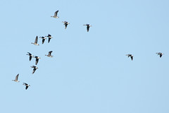 White Fronts. (stonefaction) Tags: nature birds scotland angus wildlife basin montrose lurgies