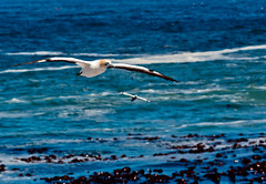 FLYING GANNET (CUMBUGO) Tags: ocean africa leica travel light sunlight cold color colour detail bird nature water animal composition contrast licht wings wasser rangefinder pixel m8 cape tele peeper f4 vogel gannet 135mm lamberts kapstadt kleur sharpness scherpte