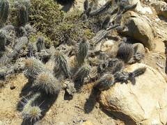 DSCN8419 (Robby's Sukkulentenseite) Tags: chile cactus cacti coquimbo reise kaktus kakteen castanea eriosyce standort subgibbosa neoporteria eulychnia nigrihorrida lacebada ka4719s ka4151s