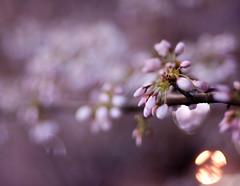 Sakura bokeh (j-riviere) Tags: flowers toronto nature cherry spring nikon blossoms sakura d300s