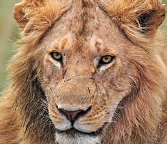 the king (Héctor del Hoyo) Tags: africa wild animals king kenya nairobi lion safari mara rey animales león kenia masai elefante sabana masaimara rinoceronte libres safarifotográfico animalessalvajes freeanimals hectordelhoyo