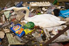 Litter (Marc Rauw.) Tags: urban bird nature netherlands amsterdam animals geotagged swan garbage wildlife dump olympus 100mm litter plastic pollution m42 rubbish environment thrash olympuspen fujinon f28 oosterdok m43 environmentalimpact swannest flickrduel epl1 microfourthirds μ43 fujinon100mmf28 geo:lat=523759074613564 geo:lon=4906464430657934