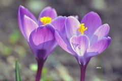 Crocus (bbic) Tags: light two flower garden spring purple crocus brandusa