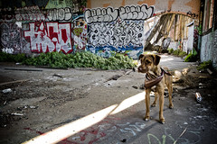 "Exploring Buddy (""Soup"") Tags: sanfrancisco california dog cute abandoned train puppy grit graffiti colorful decay buddy friendly sjc spraypaint trespassing tako k9 urbex trainhouse igu wfk zenphonik h8k censen"