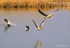 Geese (ditmaliepaard) Tags: geese ganzen picnik grauweganzen canadesegans indepolder