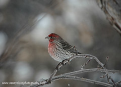 Red Bird (sandyolson) Tags: coyote blackandwhite canada macro bird history nature beautiful birds silhouette children photography wolf eagle wildlife insects moose canadian frog wilderness baroque johnlennon mammals chiaroscuro renaissance awardwinning irlambriggs