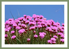 Sea Pinks (Mac ind g) Tags: pink holiday flower walking scotland spring flora framed portpatrick dumfriesgalloway