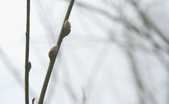 Willow © (Blackcatatheart) Tags: new grey spring soft branch earth ground velvet willow bud sullen cattail pussywillow