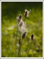 Blowin' in the wind (schos2011) Tags: macro green canon pflanzen wiese wegerich