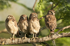 The Hang-Out (TNWA Photography (Debbie Tubridy)) Tags: wild tree nature birds outside outdoors support nikon branch natural florida wildlife security siblings habitat discovery growingup owls avian bonding adolescence brotherssisters burrowingowls learningtofly coopercity juveniles babyowls brianpiccolopark coth5 tnwaphotography fourowls