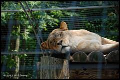 Lazy Daze (Bill Strong) Tags: lion zooz d80 topazadjust safariniagara