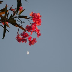 oleander and moon (SS) Tags: above camera pink blue light red summer vacation sky italy flower green colors beautiful june yellow composition contrast photography mood dof view angle pentax pov walk branches perspective scenic framing bianco depth tone oleander vieste vastness k5 celeste blooming noseup immensit