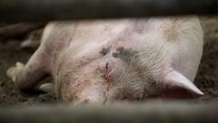 IMG_7326 (rikhard.kuutti) Tags: sleeping cute finland pig mud lapland resting animalpark konijänkkä