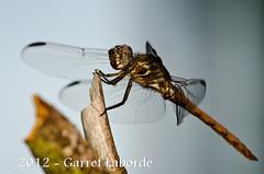 Orthemis  Roseate Skimmer (Orthemis ferruginea) (The Fantastic G) Tags: texas july 2012 tomball insecta harriscounty sbr200 nikonr1system nikond7000 sigma150mm28exapodghsmmacro sigma14xtcapodgex nikon24120mmf4vriin