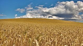 Wheat, blue skies