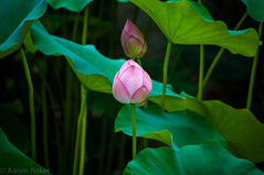 Lotus -  (Aaron Reker) Tags: trip pink summer plant flower japan japanese kyoto lotus lightroom  d90 nelumbo  nucifera