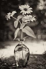Garten Stilleben (georgsfoto) Tags: stilllife flower monochrome digital garden still stilleben vase blume garten glas wideopen nikond3s ainikkor5020