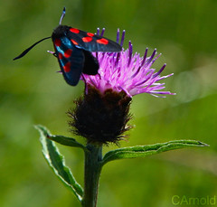 Six spot burnet moth - zygaena filipendulae (Evergreen!) Tags: blue red england 6 black green nature countryside dof purple wildlife thistle moth spot spots environment spotted six burnet zygaena filipendulae