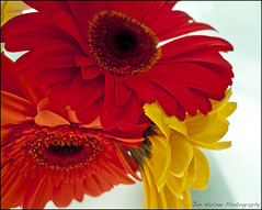 Gerbera Trifecta (Meremail) Tags: red flower three petals gerbera sick rm rumblemumbles explore24thaugust2012