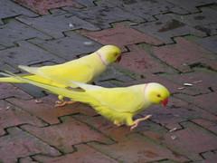 parrot malaysia kualalumpur klbirdpark kualalumpurbirdpark walkinaviary tamanburung kllakegardens worldslargestcoveredaviary yellowringedparakeet