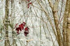 Red Leaves in the Swamp (Maggggie) Tags: red fall leaves swamp samslake blinkagain