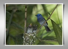 Black-Naped Monarch (Z.Faisal) Tags: black bird monarch bangladesh faisal naped zamiruddin zfaisal