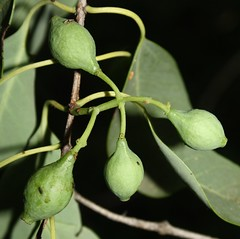 2900 001-09-h-8299 Santalum ellipticum, a form at Kalaeloa, O`ahu, occurrence 1, plant 9 (female - the plant sets fruit; its flowers do not produce pollen).  O`ahu, southwestern end, Kalaeloa, Santalum area 3. (jqcl) Tags: santalum santalumellipticum iliahi iliahialoe sandalwood santalaceae hawaiianislands hawaii oahu plant nativehawaiianplant nativeplant