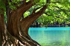 El Lago (Isabel Santoscoy) Tags: lago rbol michoacn camcuaro