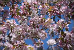 <> Spring Flowering Splendor - II. <> (Wolverine09J ~ 1 Million + Views) Tags: blossoms floweringcrab thegalaxy flowerlovers pinkishwhite cultiver heartawards springfloral flowersonsky niceasitgets~level1 niceasitgets~level2 frameit~level01 aprilfloraandfungi