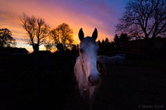 The morning horse (Martin Zurek) Tags: morning blue light horse orange sun color nature colors animal silhouette sunrise germany dark landscape bavaria glow arabian rise irsee shagya canon5dsr 5dsr