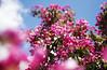 Red Apple Blossom, Lohja