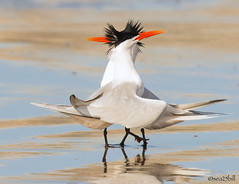 CASPIAN TERNS (sea25bill) Tags: california morning sun white beach nature birds animal spring gray caspianterns