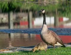 Mother Goose (tquist24) Tags: park reflection bird water birds reflections river bristol geotagged nikon unitedstates bokeh indiana goose gosling fowl canadagoose bonneyvillemillcountypark littleelkhartriver nikond5300