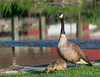 Mother Goose (tquist24) Tags: park reflection bird water birds reflections river bristol geotagged nikon unitedstates bokeh indiana goose gosling fowl canadagoose bonneyvillemillcountypark littleelkhartriver nikond5300