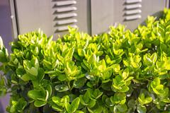 City Green (minkulee) Tags: city plant green leaves leaf seoul jongno  jongro